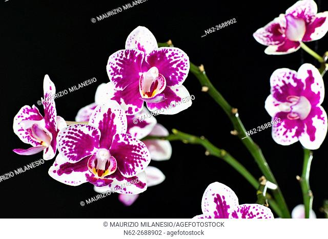 detail purple and white orchid isolated on black backdrop