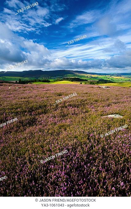 England, Northumberland, Rothbury Flowering heather on the open moorland known as the Rothbury Terraces, looking towards Simonside