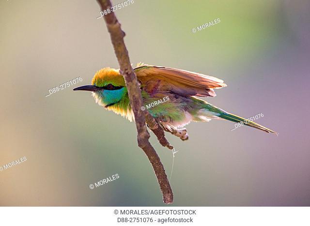 Sri Lanka, Yala national patk, Little green bee-eater (Merops orientalis), snorts