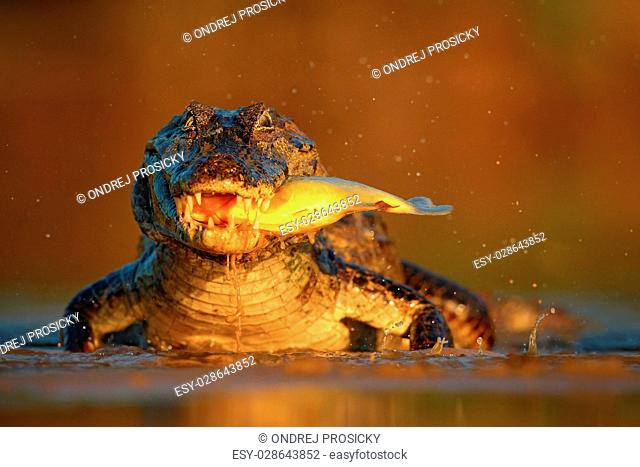 Caiman with evening orange sun, Yacare Caiman with fish