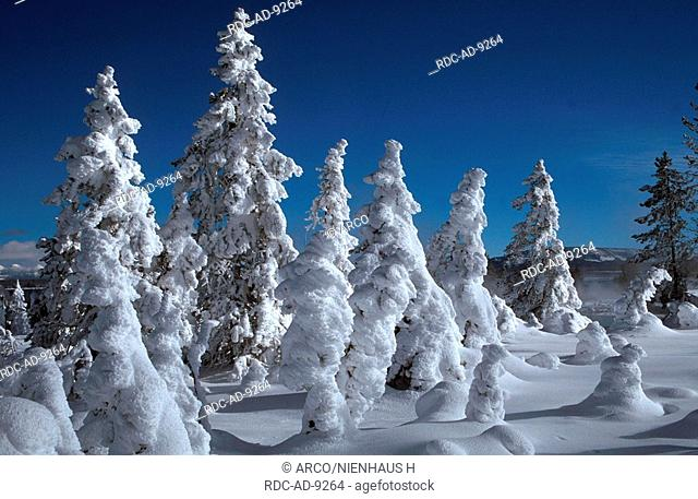 Snow covered Coniferous Trees, West Thumb Geyser Basin, Yellowstone national park, Wyoming, USA