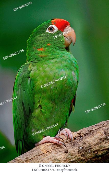 Beautiful green parrot Finsch's parakeet, Aratinga finschi, Costa Rica