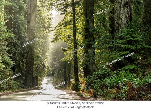 USA, CA, Eureka, Hwy 101 through Redwood Forest National Park, north of town