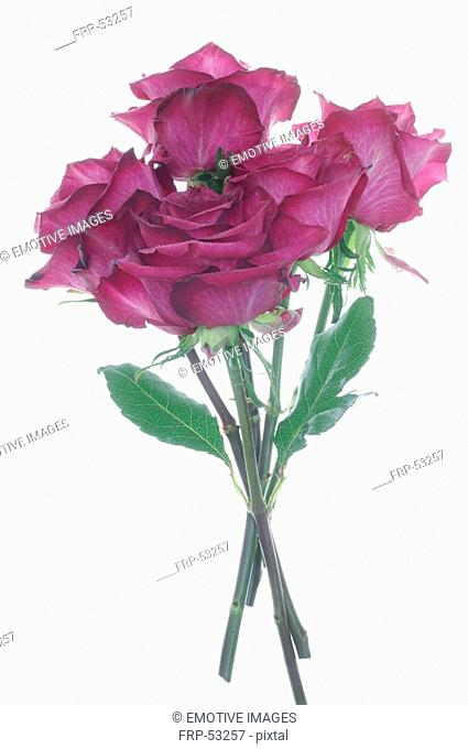 Bunch of lilac roses