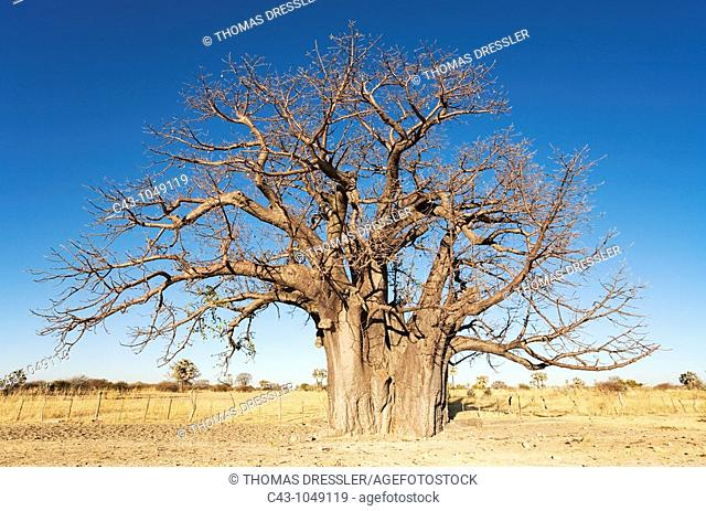 Baobab Adansonia digitata - A common tree in northern Namibia  Omusati region, Namibia