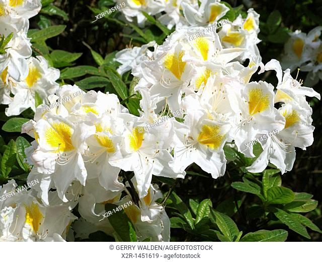 Rhododendron 'Nancy Buthanan' blossoms, Hampshire, England