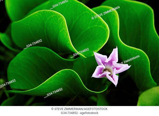 Flower, Kauai, Hawaii, USA