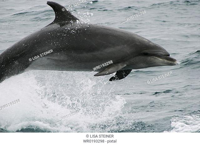 Bottlenose dolphin leaping clear of the water Azores, North Atlantic