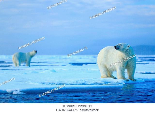Polar bear couple cuddling on drift ice in Arctic Svalbard