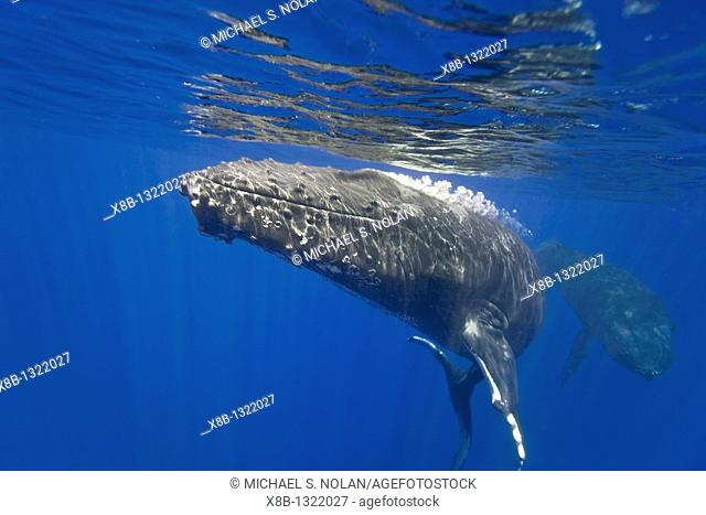 Bull humpback whale escort Megaptera novaeangliae blowing bubbles out of blowholes underwater in the AuAu Channel separating Maui from Lanai