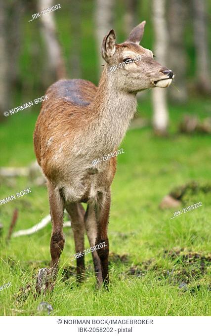 Red deer (Cervus elaphus), female, Norway, Scandinavia, Europe