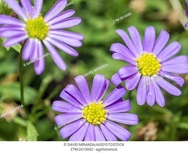 Magenta flowers. Macro
