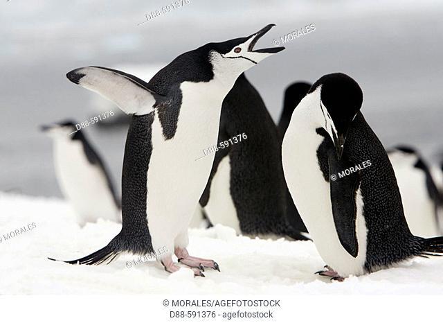 Chinstrap penguin (Pygoscelis antarctica). Half Moon Island. Antartic Peninsula