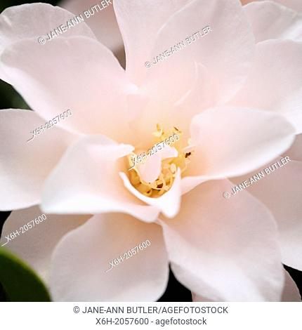 a taste of Spring with a large, generous camellia bloom