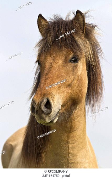 Icelandic horse - portrait