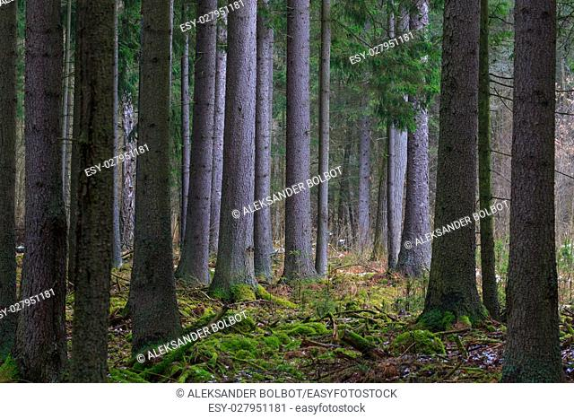Coniferous stand of spruces in winter cloudy morning, Bialowieza Forest, Poland, Europe