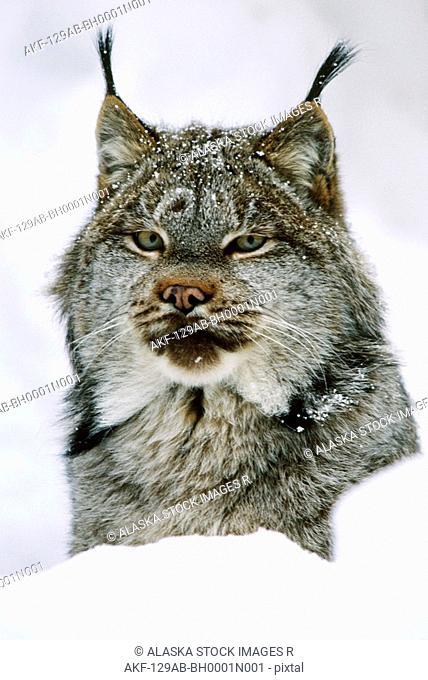 Lynx in Snow Portrait Winter