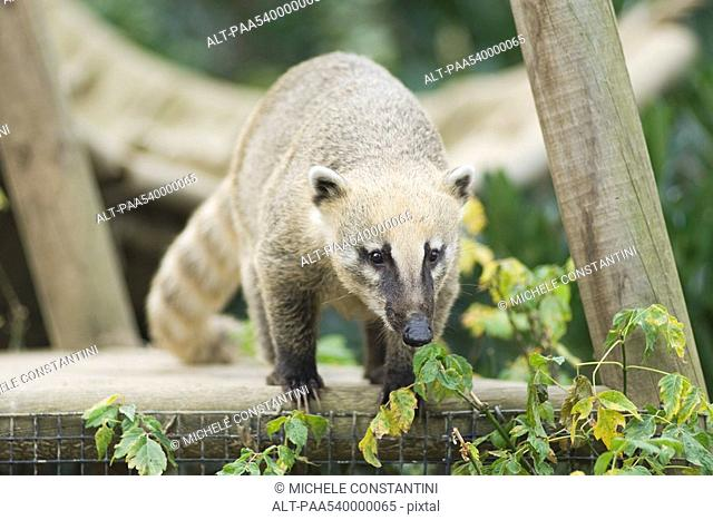 Coati on top of fence looking down