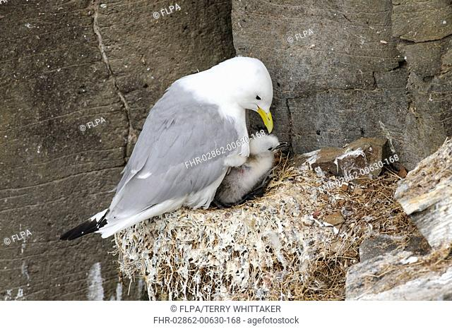 Black-legged Kittiwake (Rissa tridactyla) adult, breeding plumage, with chick at nest, Latrabjarg, Iceland, July