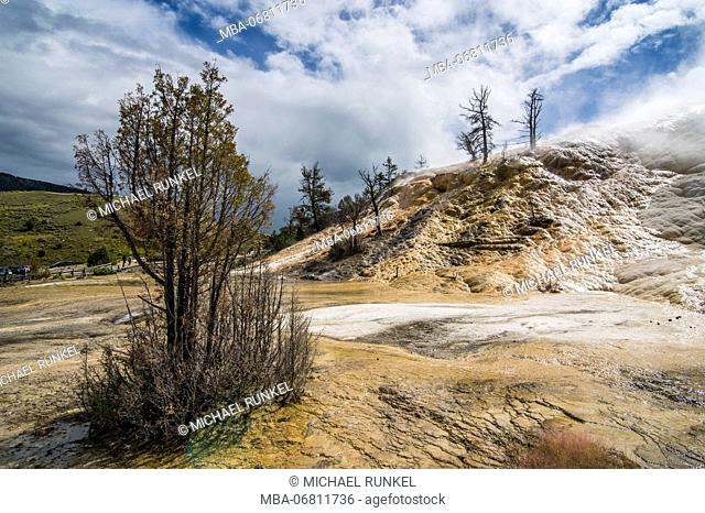 Dead trees on a hill of travertine in Mammoth hot springs terraces, Yellowstone National Park, Wyoming, USA