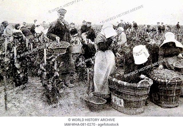 Print depicting an army of workers picking black grapes for Champagne in Épernay, France. Dated 19th Century