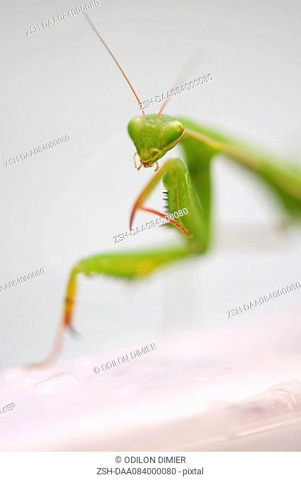Praying mantis, close-up
