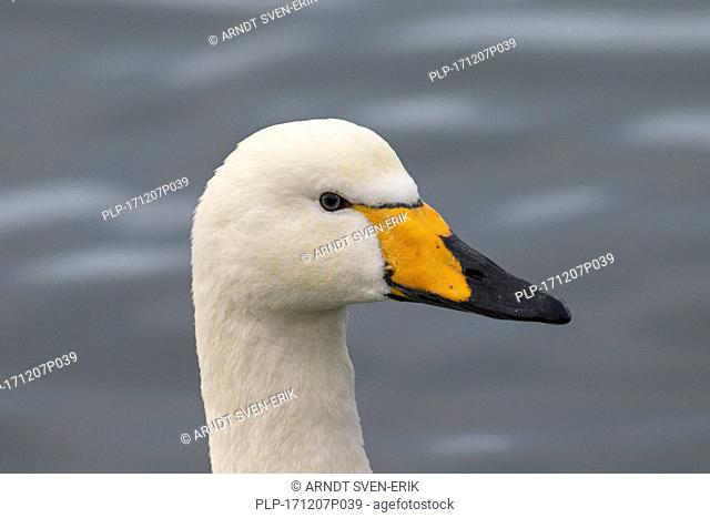 Close up portrait of whooper swan (Cygnus cygnus) swimming in winter