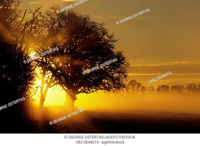 Oak sunrise, Benton County, Oregon