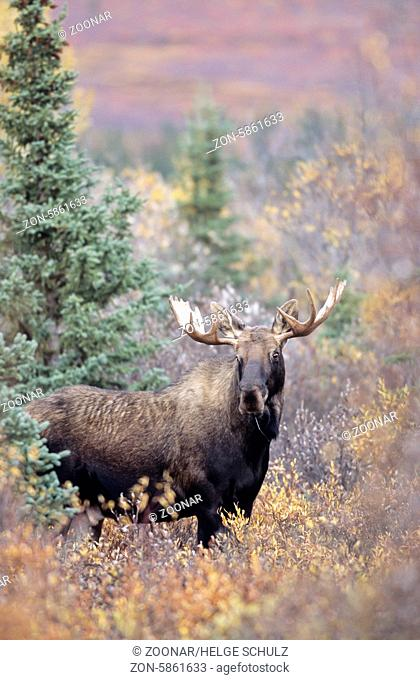 Junger Elchbulle in der herbstlichen Tundra - (Alaskaelch) / Young bull Moose in indian summer in the tundra - (Alaska Moose) / Alces alces - Alces alces...