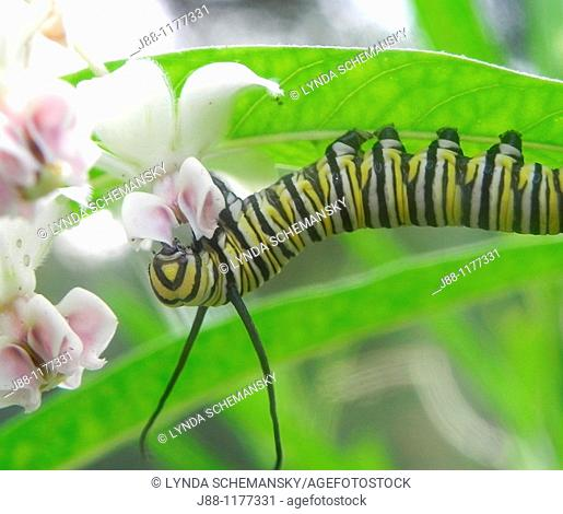 Caterpillar of the Monarch butterfly, Danaus plexippus, eating leaves and flower buds of the Swan Plant Milkweed, also called Tennis Ball Bush