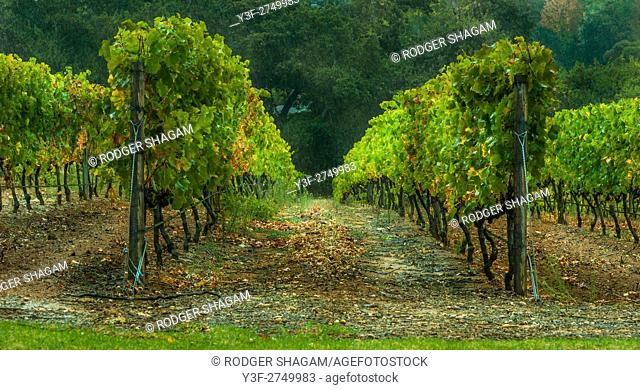 Rows of grape vines in a vineyard. Constantia Valley, Cape Town, South Africa