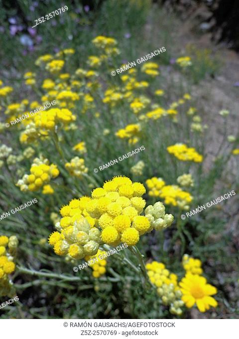 Shrubby Everlasting (Helicrysum stoechas). Catalonia, Spain