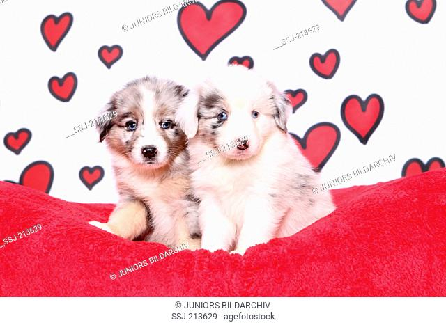 Miniature American Shepherd. Two puppies (6 weeks old) sitting. Studio picture against a white background with red hearts. Germany