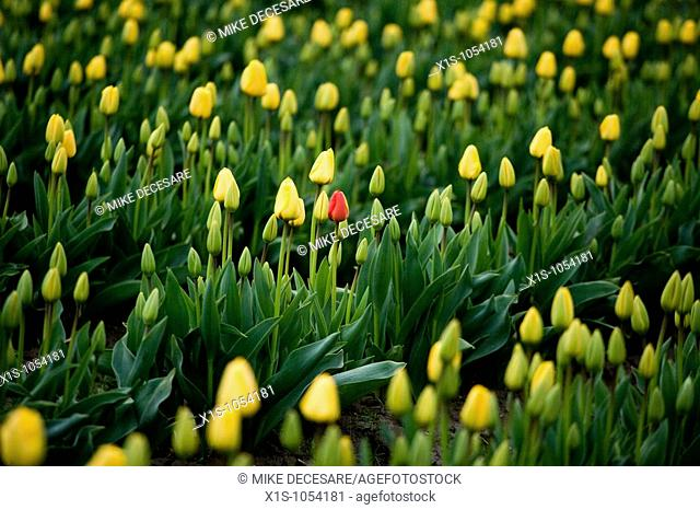 One red tulip stands within a sea of endless yellow tulips and green stems
