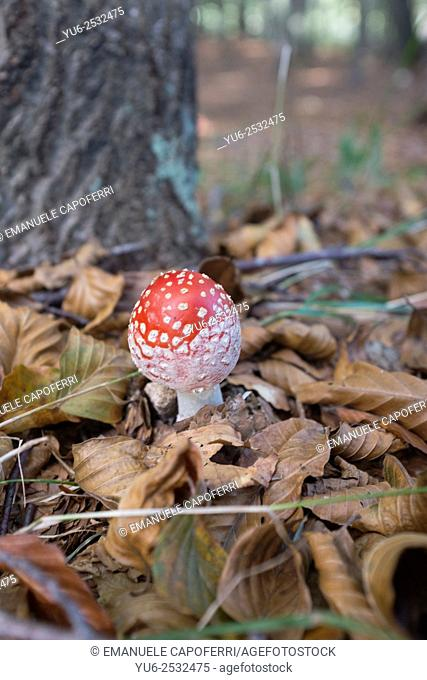 Fly agaric (Amanita muscaria), Piedmont, Italy