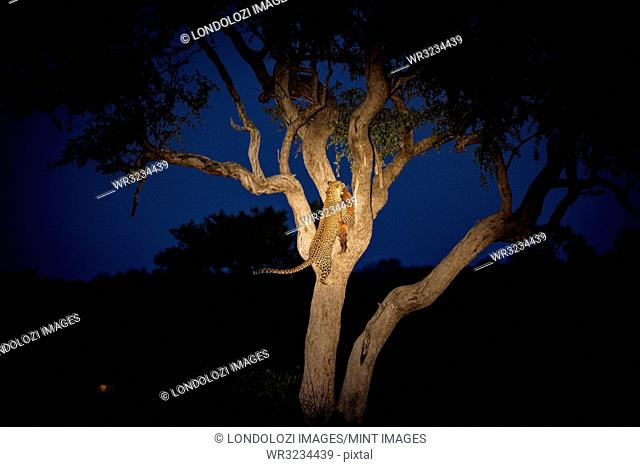 A leopard, Panthera pardus, climbing a tree while holding an impala in its mouth at night, Aepyceros melampus