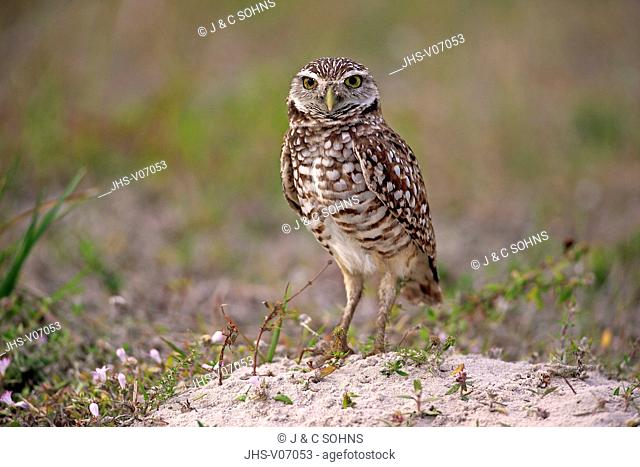 Burrowing owl, (Athene cunicularia), Cape Coral, Florida, USA, North America, adult at den