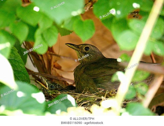 blackbird (Turdus merula), female with young in the nest
