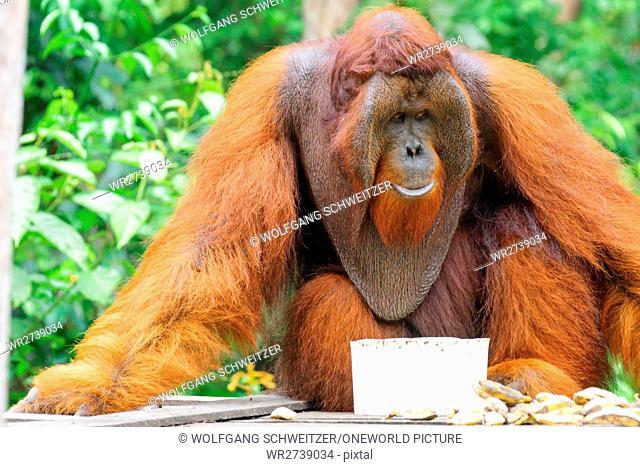 Indonesia, Kalimantan, Borneo, Kotawaringin Barat, Tanjung Puting National Park, Orangutan