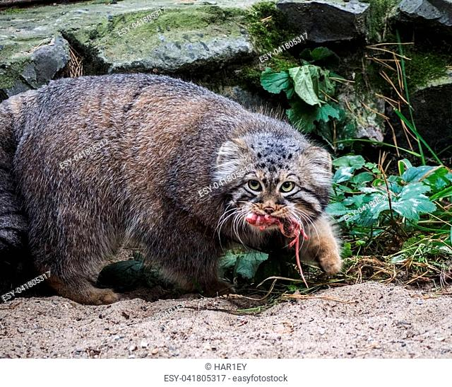 Hunting pallas's cat, also known as the manul. Carries the prey in the hole