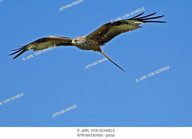 Red kite flying, Sweden