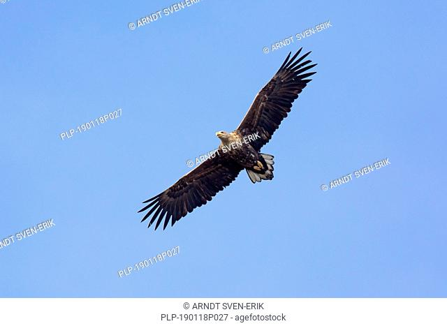 White-tailed eagle / sea eagle / erne (Haliaeetus albicilla) in flight soaring against blue sky