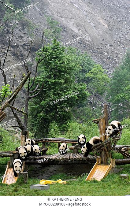 Giant Panda (Ailuropoda melanoleuca) cubs playing on structures near landslide after the May 12, 2008 earthquake, CCRCGP, Wolong, China