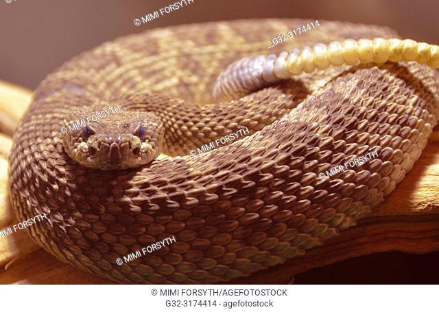 Western Rattlesnake (Croatalus oreganus) New Mexico