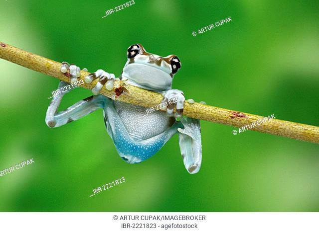 Amazon Milk Frog (Phrynohyas resinifictrix) climbing a branch