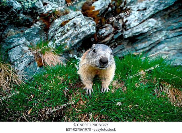 Cute animal Marmot, Marmota marmota