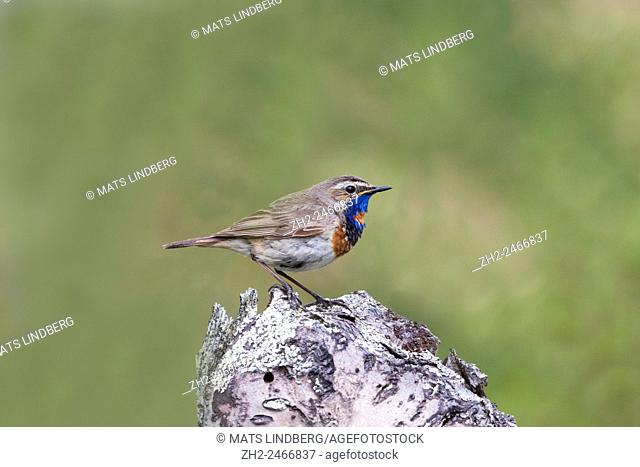 Bluethroat, Luscinia svecia, sitting on a birch treetrunk, In swedish mountain area, Kiruna, Sweden
