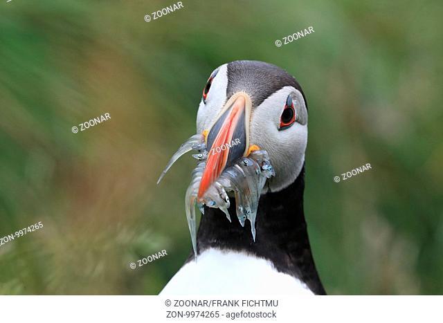 Papageitaucher mit Fischen Iceland