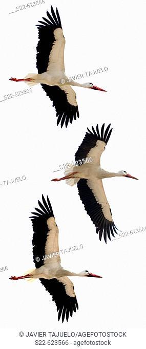 White Storck, Ciconia ciconia