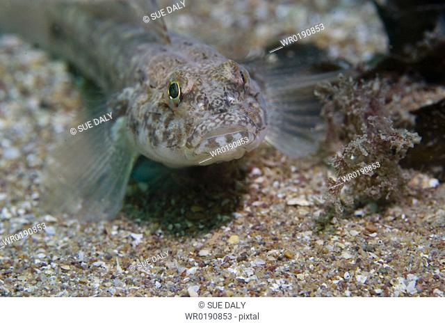 Goby Sark, Channel Islands
